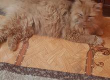 مطلوب قطة رومانية