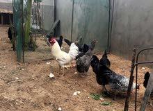 للبيع 3 دجاجة