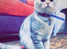 قطة سكوتش