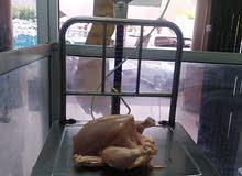 دجاج لحم للبيع
