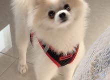 كلب نثية پوميرينيان للتزاوج