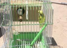 للبيع طيور