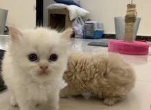 قطط كيتن للبيع