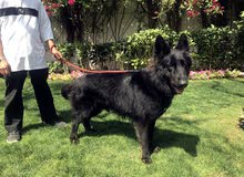full Black long hair German shepherd puppies