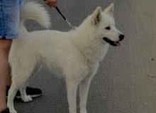 كلب هاسكي للبيع العمر خمس شهور مدرب ويأخذ لقاحات ونظيف جدا