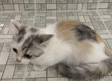 قطط اعمارهم شهر للبيع