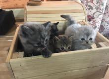 للبيع قطط مكس شيرازي سيامي