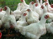 دجاج لأحم الأبيض