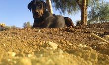 كلبه روت وايلر الام روت والاب دوبرمان العمر سنه