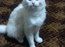 قطة شيرازي انثى لون ابيض