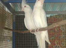 cocktail white albino for sale