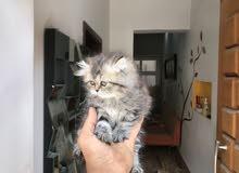 قط فارسي انتي بصحة جيدا