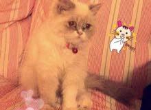 قطة همالايا بيكي فيس انثى