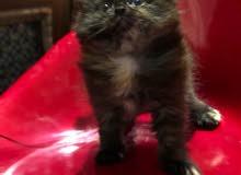 Himalayan Cross Siberian Kittens Available