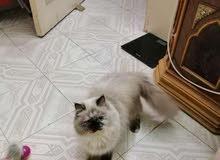 قطة هيمالايا شوكليت