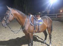 حصان انجليزي قفز حواجز العمر 9سنوات للراغبين التواصل خاص كل الحب والحترام للجميع