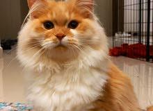 قطط شيرازية للبيع PURE