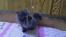 Fullfy beautiful playful gray Persian dollface female kitten