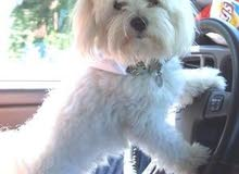 looking for male maltese & chitzu