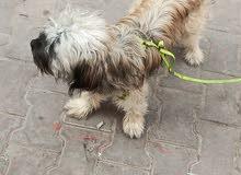 سلام عليكم عندي كلب زينة اجلكم الله اقرة الوصف