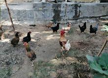 دجاج عرب 13 دجاجة وثنين ديوجة شرط صحة بياض سعر دجاجة 15 الف
