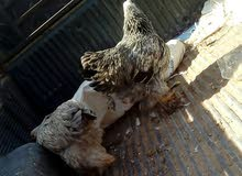 دجاجةابراهما كبير وصغير