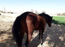حصان عربي ربع دم