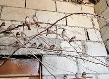 طيور جنة بلاك شيك وبلدي مطير