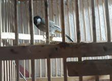 بلبل ربه داخل البيت يطير وصوت عالي