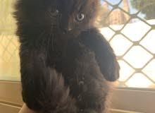 1 Month Cat / Color : Black