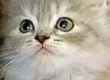 قطة شيرازي سنتين بيور منتجة بالباسبور والتطعيمات والبوكس