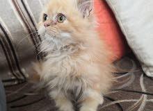 قط شيرازي صغير للبيع 3 شهور