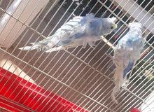 كوبيا هوقورومو اسبانجل كريمه  تجهز للاحضان للبيع بالقفص