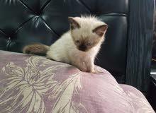 للبيع قطة سيامية العمر شهر وشوي