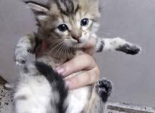 مطلوب قطه شيرازي بيضاء للبيع بالتقسيط مقدمه 50 الف والباقي نتفاهم عليه بالخاص