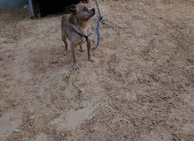كلب تش واو امريكي