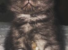 قط سكوتي فولد