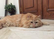 قط شيرازي و قط الماو المصري