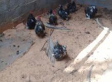 دجاج استرالي زهري