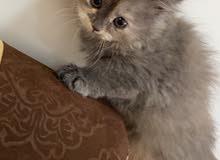 قطة رمادية شيرازيه للبيع small gray cat for sale