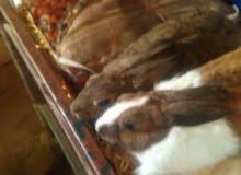 جوز ارانب جميل