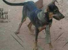 كلب جيرمن صغير جيد الحراسه مدرب