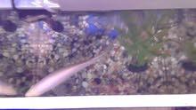 للبيع حوض متوسط الحجم مع سمكة كبيرة