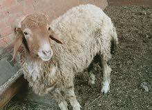 خروف ذكر لبانه مكسرش ولا سنه