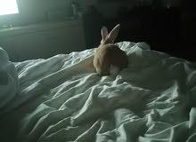 أرنب لطيف للتبني