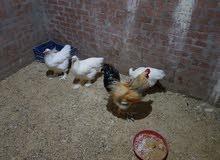 دجاج برهما الوان و ابيض