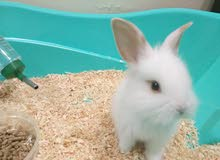 White Cute Bunny for sale