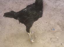 زوج دجاج تيلندي مستورد للبيع للتواصل 0555767535