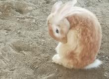 ارنب هولندي ذكر ارغب للمبادله بذكر عماني