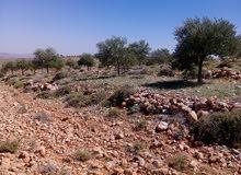 أرض زراعية مشجرة زيتون